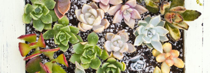 Make a Living Frame with Succulents