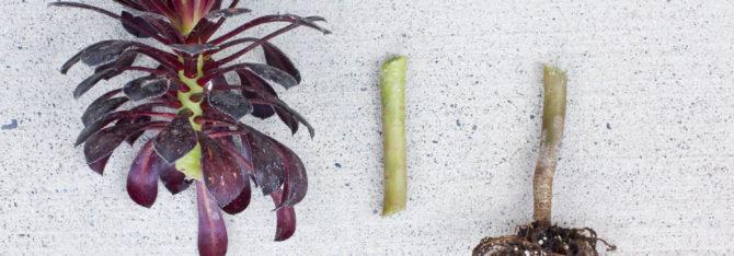 Aeonium Zwartkop Cutting