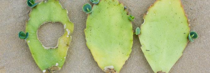 Kalanchoe Daigrmontiana — The Incredible Self Propagating Succulent