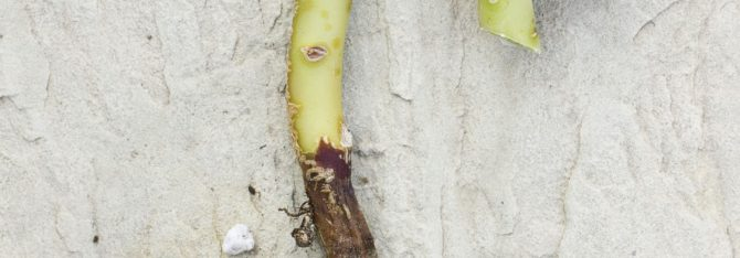 Unhealthy Succulents